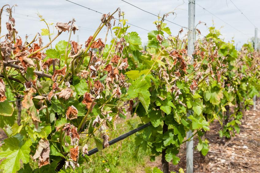 Hat der Klimawandel Einfluss auf den Weinbau?
